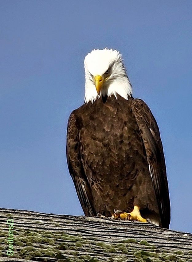 Eagle-Roof-Linnton-Or-SwittersB