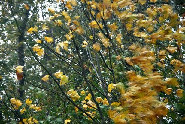 wind-tree-blowing leaves SwittersB