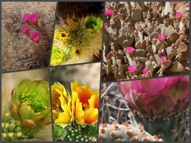 Cactus Blooms-Collage-Mojave-SwittersB