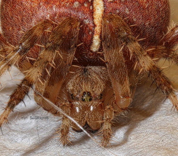 spider-face-swittersb XX
