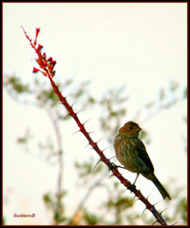 birds-thorns-branch-desert-swittersb