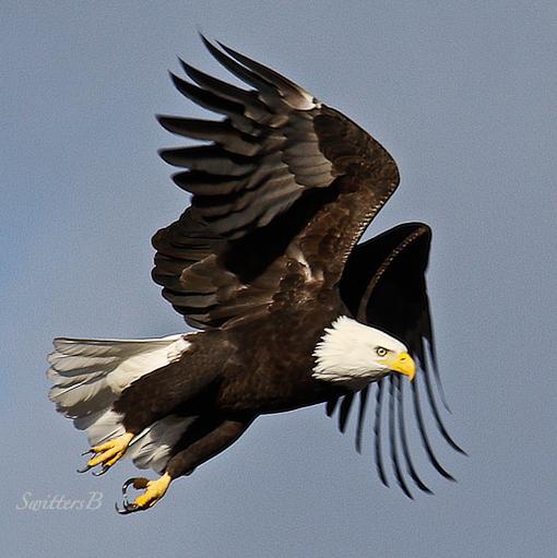 eagle-taking off-oregon-swittersb