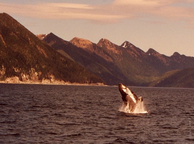 whale jumping-kruzof island-alaska-swittersb