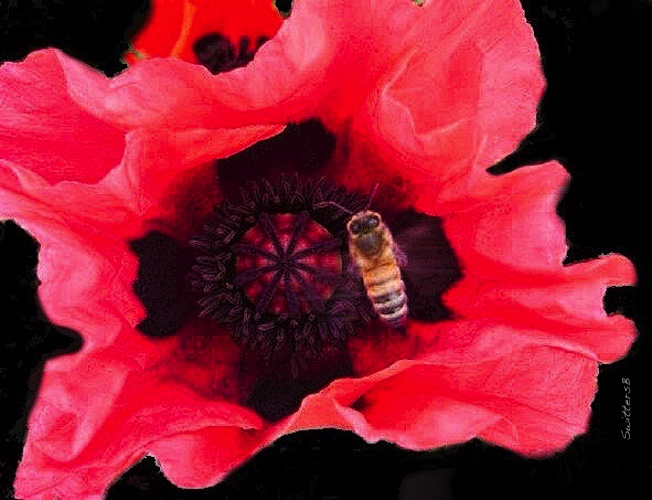 Bee-Poppy flower-SwittersB