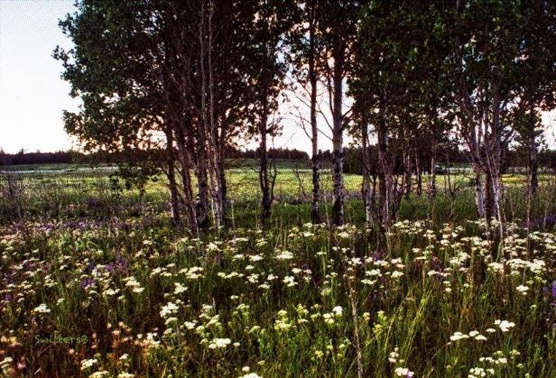 Wildflowers-BC-Salmon Lake SwittersB
