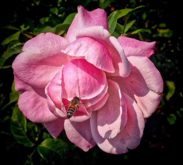 bee-pink rose-SwittersB