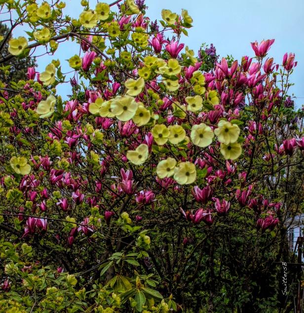 Dogwood and Tulip Tree Blooms-SwittersB.jpg
