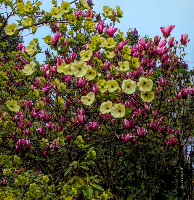 Dogwood and Tulip Tree Blooms-SwittersB.jpg