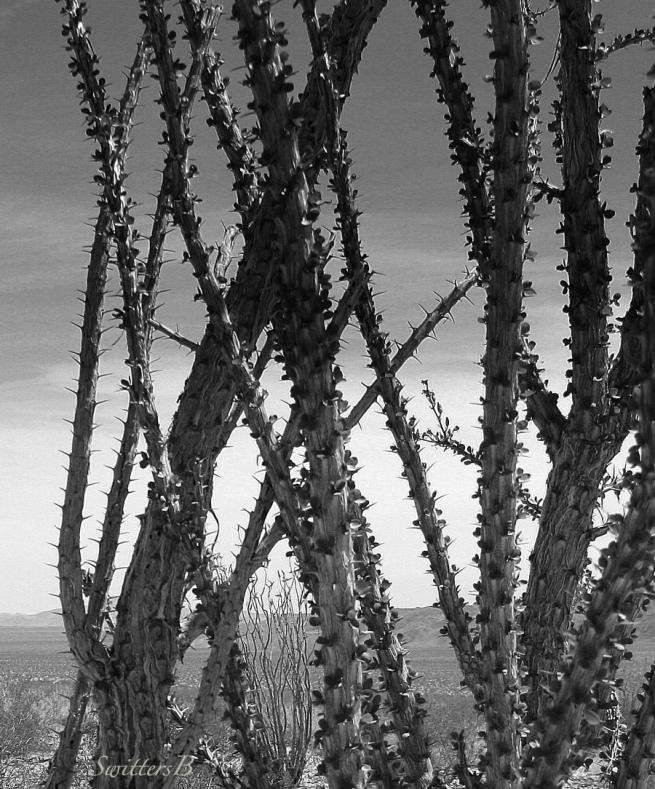 cactus-mojave-desert-swittersb