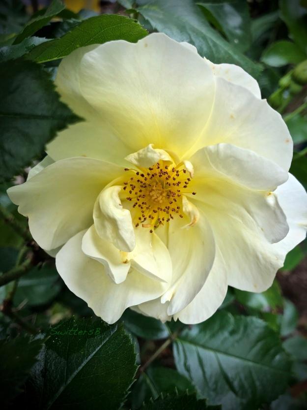 Emma's Rose-Portland-SwittersB.jpg